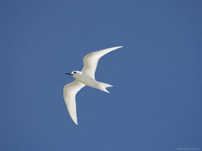 741-1847~White-Tern-Bird-Island-Tikehau-Tuamotu-Archipelago-French-Polynesia-Pacific-Islands-Pacific-Posters