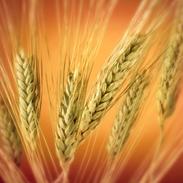 wheat22[1]